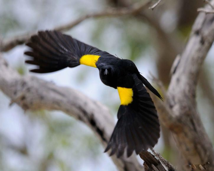 yellow-shouldered-blackbird-agelaius-xanthomus-in-flight